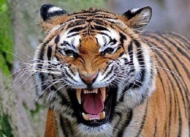 Trận chiến giữa sư tử và hổ dưới góc nhìn của chuyên gia - Ảnh 2.