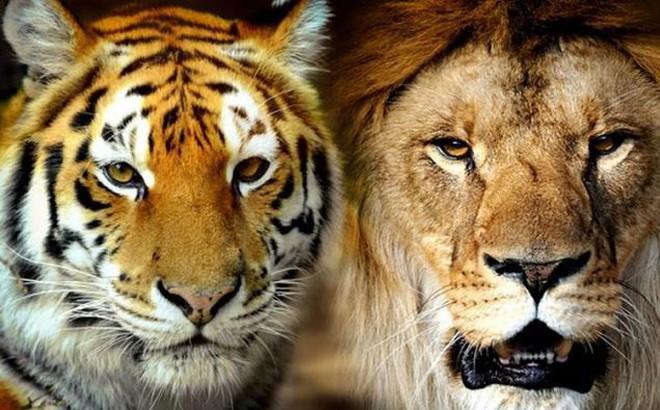 Trận chiến giữa sư tử và hổ dưới góc nhìn của chuyên gia