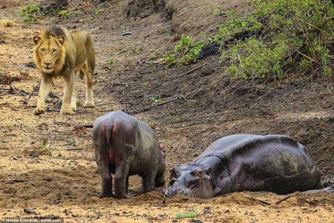 Thấy mẹ gục xuống bùn, hà mã con quyết chiến đánh đuổi sư tử - ảnh 3