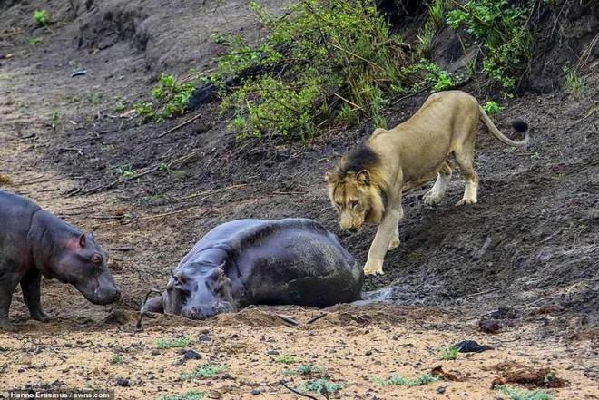 Thấy mẹ gục xuống bùn, hà mã con quyết chiến đánh đuổi sư tử - ảnh 4