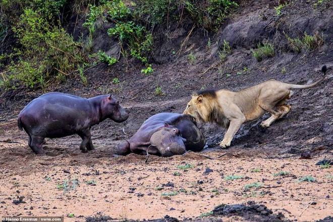 Thấy mẹ gục xuống bùn, hà mã con quyết chiến đánh đuổi sư tử - ảnh 5