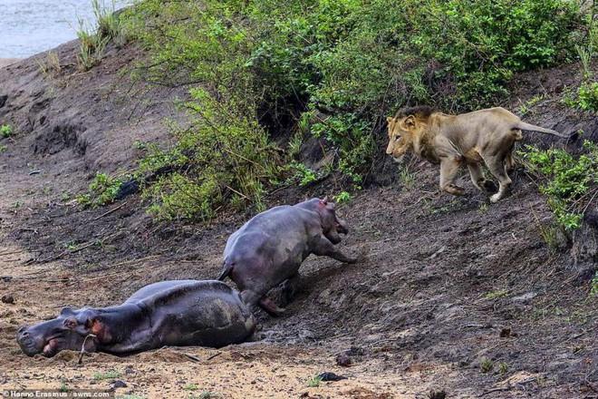 Thấy mẹ gục xuống bùn, hà mã con quyết chiến đánh đuổi sư tử - ảnh 6