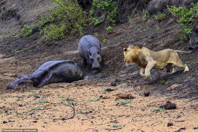 Thấy mẹ gục xuống bùn, hà mã con quyết chiến đánh đuổi sư tử - ảnh 7