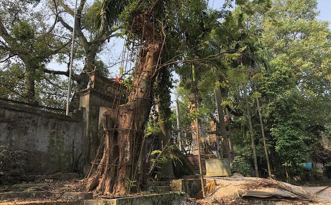 Ly kỳ quanh cây sưa trăm tỷ ở Hà Nội sắp được bán: Người dân như ngồi trên đống lửa khi cây bị mối mọt tấn công 1
