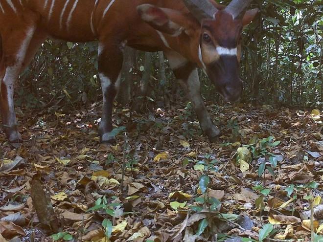 Phát hiện loài linh dương rừng lớn nhất thế giới sau nhiều năm giấu mình - ảnh 1