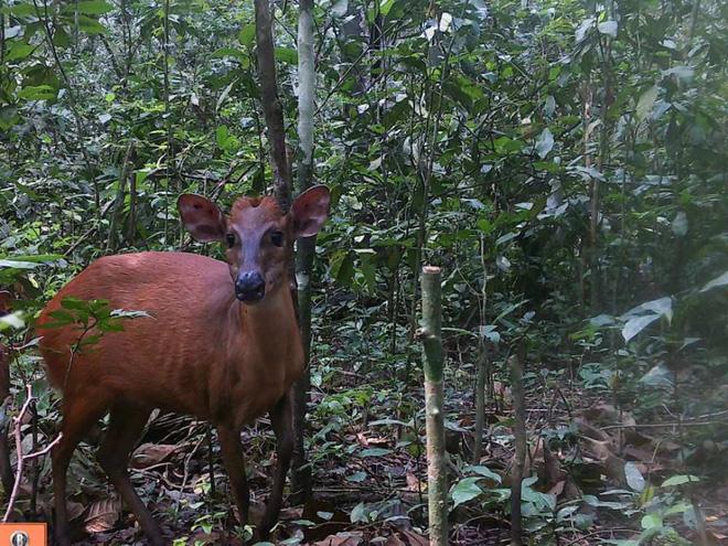Phát hiện loài linh dương rừng lớn nhất thế giới sau nhiều năm giấu mình - ảnh 3