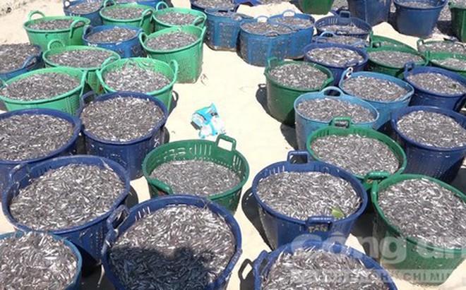 Các ngư dân Quảng Ngãi đánh trúng nhiều mẻ cá cơm tươi rói