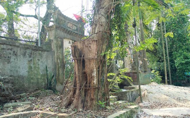 Người chi 26 tỷ mua gỗ cây sưa làng Đông Cốc: Cây sưa 100 tỷ đồng là