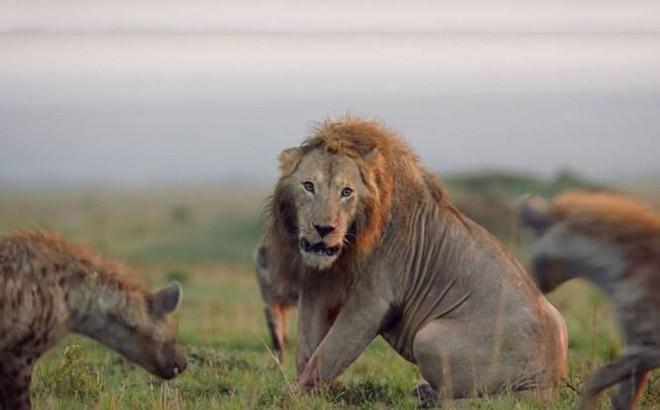 Sư tử đực chiến đấu với đàn linh cẩu
