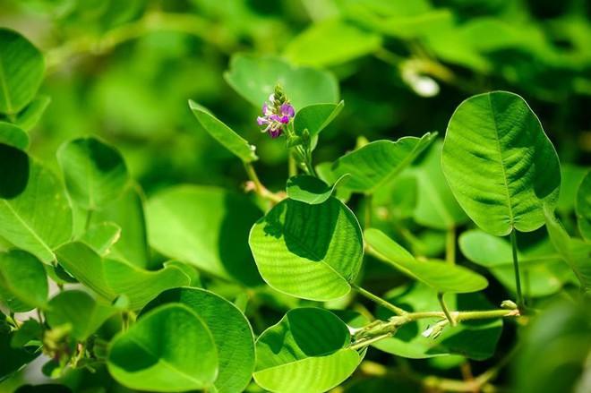 Những vị thuốc quý từ thảo dược tốt cho người bị sỏi mật - Ảnh 6.