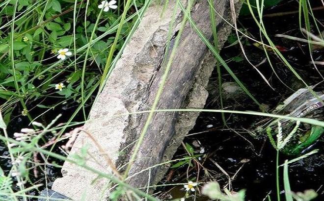 Vụ bò trượt ngã lộ cây tầm bậy trong bê tông: Có người âm thầm vá lại?