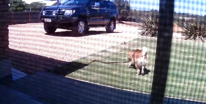 Phát hiện rắn độc bò vào nhà, chú chó nhỏ quyết đấu bảo vệ gia đình chủ dù bị thương nặng - ảnh 1