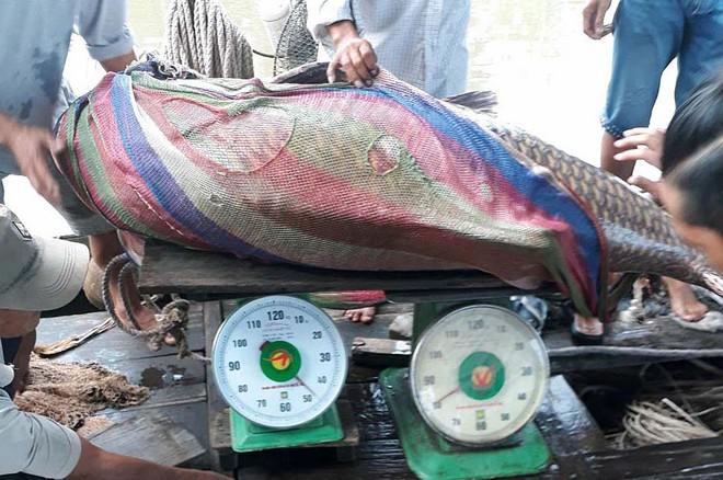 Ngư dân Vĩnh Long bắt được cá hô vàng nặng hơn 125 kg - Ảnh 1.