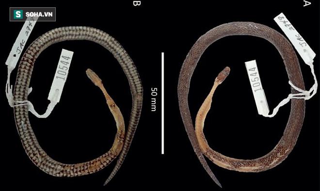 Phần còn lại của rắn Cenapsis  aenigma. Nguồn:  Jonathan Campbell và cộng sự/Tạp chí Herpetology.