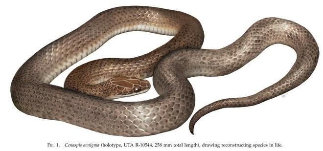 Hình dáng con rắn Cenapsis aenigma được các nhà khoa học khôi phục dựa trên đặc điểm mẫu vật. Nguồn: Jonathan Campbell và cộng sự/Tạp chí Herpetology.