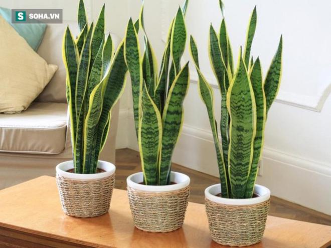 Trong phòng ngủ nhà bạn có cây lưỡi hổ không: Nếu chưa, hãy trồng ngay 1 cây vì lí do này - Ảnh 1.