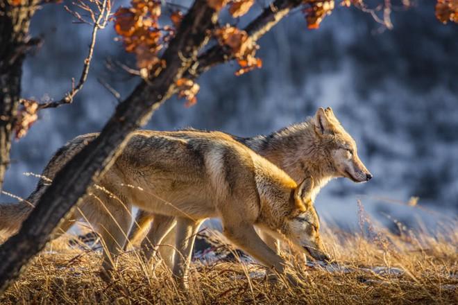 Cô gái Mông Cổ với dàn thú cưng độc 8 con sói, 3 bạn trai đều đòi chia tay vì sợ cãi nàng sẽ bị ăn thịt - Ảnh 8.