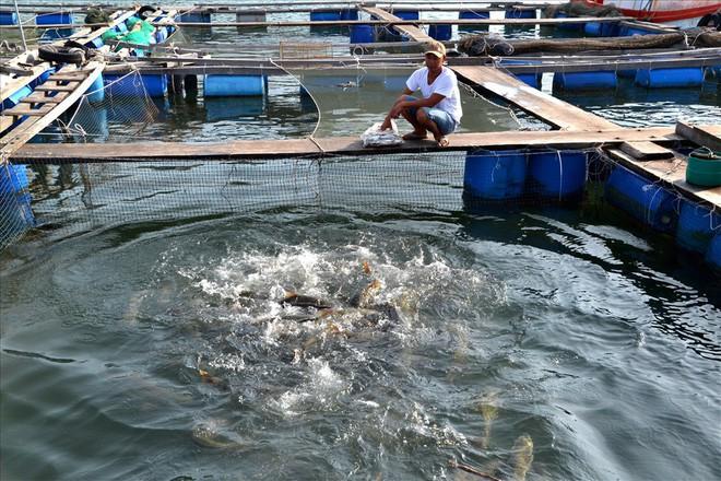 Nghề nuôi cá bạc tỷ ở Sơn Hải - Ảnh 7.