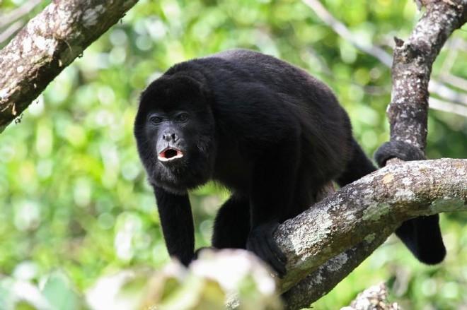 Có một loài khỉ đen toàn thân đang dần chuyển thành màu vàng và sự thật đáng buồn đằng sau đó - Ảnh 1.