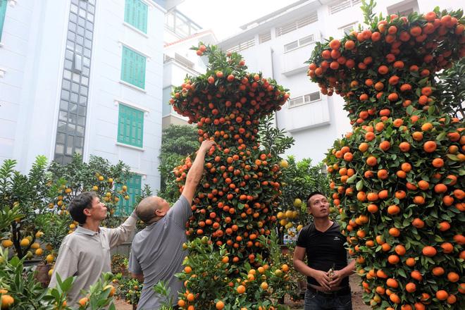 Cận cảnh cặp quất lục bình khổng lồ giá 45 triệu đồng ở Hà Nội - Ảnh 1.