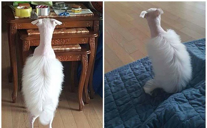 Chú chó trắng và bộ lông gây ồn ào trên mạng xã hội