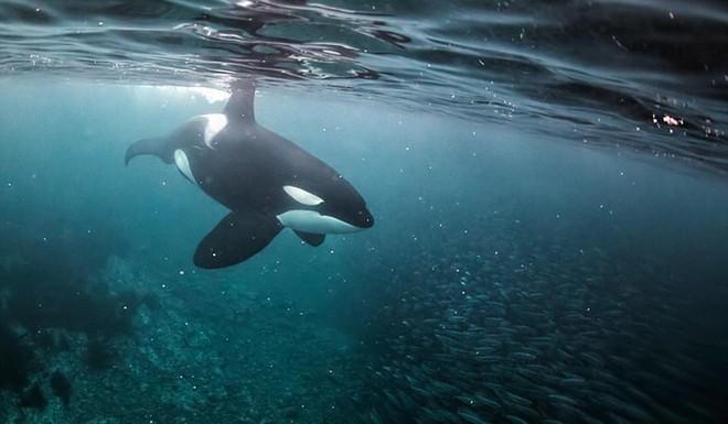 Trò chơi vương quyền trên biển (P4): Sáng tỏ hiểu lầm về loài cá voi sát thủ - Ảnh 5.