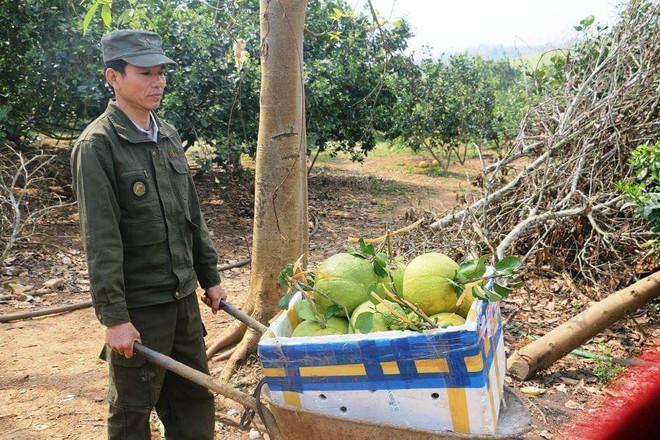 Bưởi Tết Tài – Lộc bán nửa triệu đồng một quả ở Nghệ An vẫn cháy hàng - Ảnh 3.