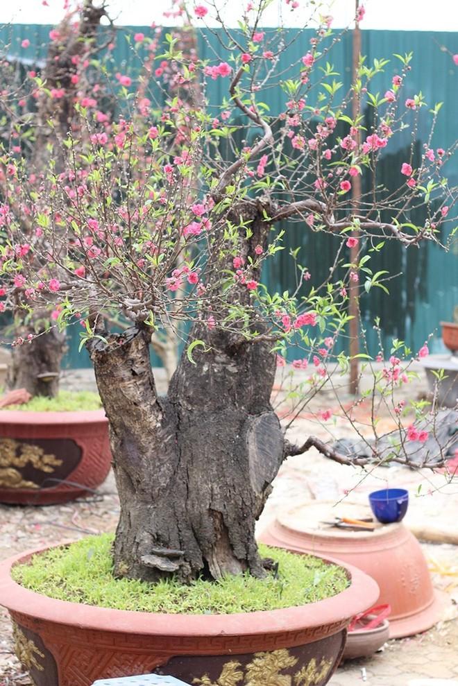 Những cây cảnh Tết giá trên trời dành cho đại gia - Ảnh 7.