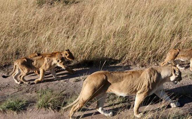 Nam Phi: Đi săn trộm ở khu bảo tồn bị đàn sư tử xé xác