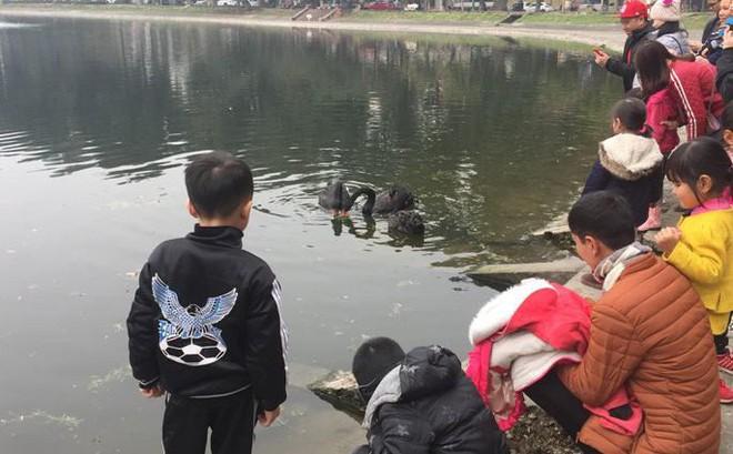 Chia 5 ca trực 24/24 để bảo vệ thiên nga ở hồ Thiền Quang suốt dịp nghỉ Tết