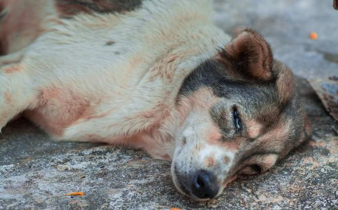 Nam thanh niên bất lực nhìn chú chó cưng nuôi 7 - 8 năm ngày một lả đi vì bị lưỡi câu mắc trong cổ họng