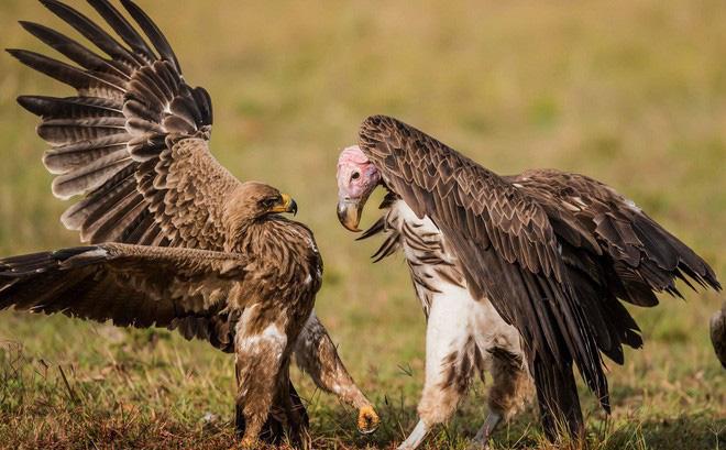 24h qua ảnh: Đại bàng và kền kền quyết chiến giành thức ăn