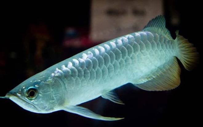 Loài cá đắt nhất thế giới, có giá ngang ngửa mấy căn hộ cao cấp có gì đặc biệt? - Ảnh 4.