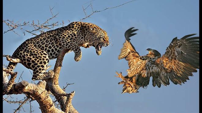 Báo hoa trả giá đắt vì manh động trèo tận lên cây truy sát kẻ thù - Ảnh 1.
