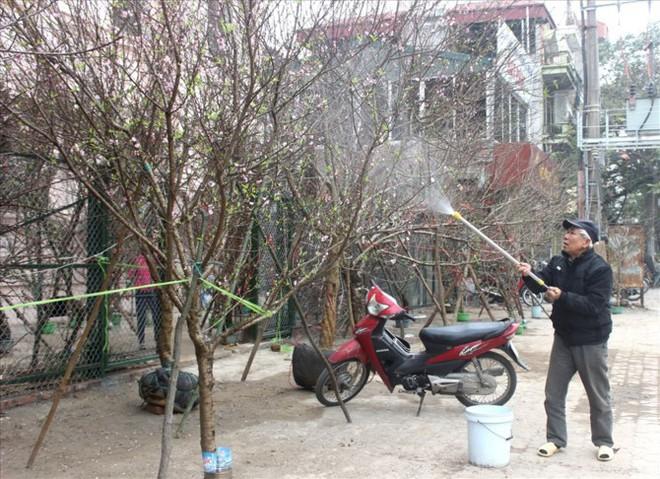 Đào rừng xuống phố giá hơn 100 triệu đồng vẫn hút khách - Ảnh 2.