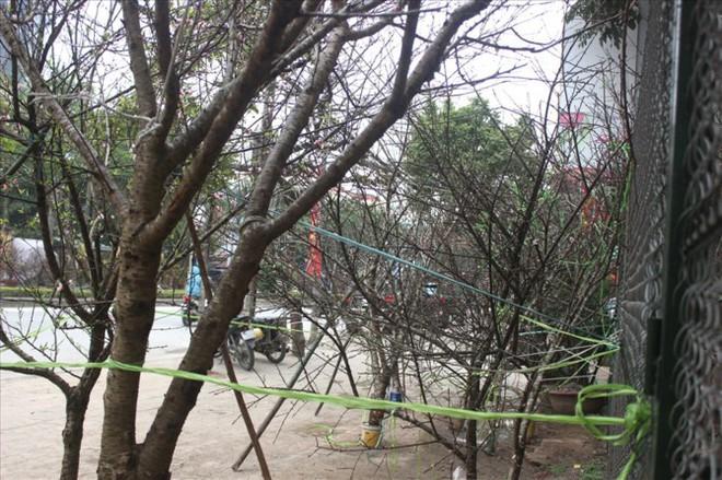 Đào rừng xuống phố giá hơn 100 triệu đồng vẫn hút khách - Ảnh 3.