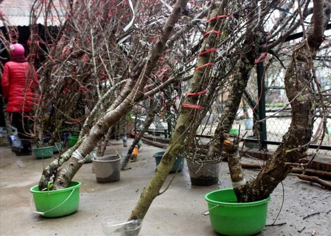 Đào rừng xuống phố giá hơn 100 triệu đồng vẫn hút khách - Ảnh 4.
