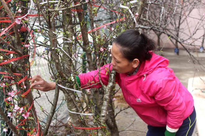 Đào rừng xuống phố giá hơn 100 triệu đồng vẫn hút khách - Ảnh 6.