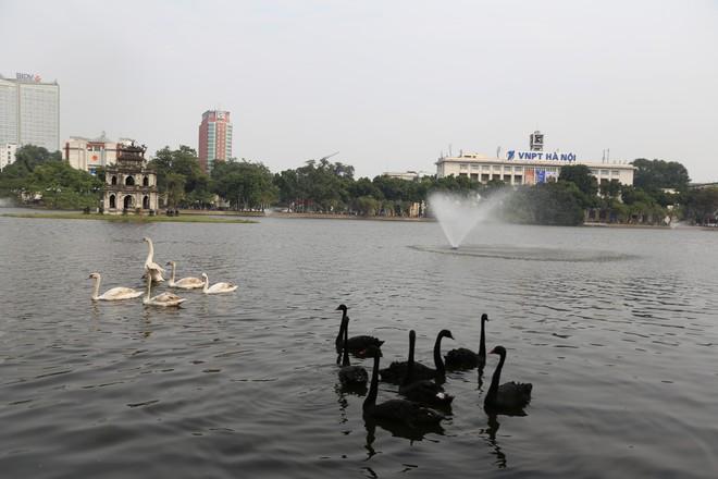 Cận cảnh đàn thiên nga giá 20 triệu đồng/con tại Hồ Gươm nhập từ nước ngoài - Ảnh 5.