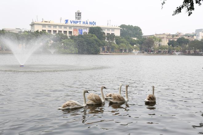Cận cảnh đàn thiên nga giá 20 triệu đồng/con tại Hồ Gươm nhập từ nước ngoài - Ảnh 1.