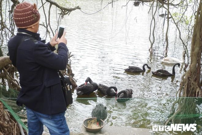 Cận cảnh đàn thiên nga giá 20 triệu đồng/con tại Hồ Gươm nhập từ nước ngoài - Ảnh 10.