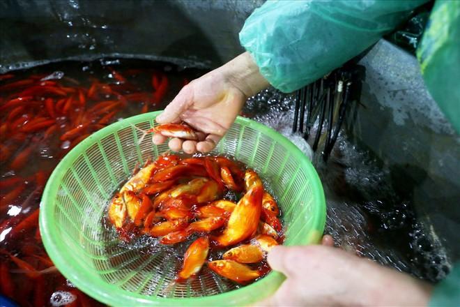 Chợ cá lớn nhất Hà Nội rực vàng trước ngày cúng ông Công ông Táo - Ảnh 10.