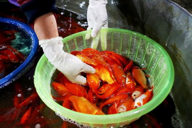 Chợ cá lớn nhất Hà Nội rực vàng trước ngày cúng ông Công ông Táo - Ảnh 7.
