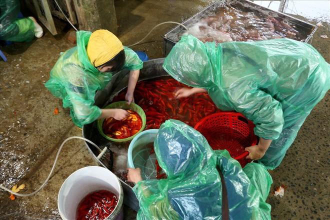 Chợ cá lớn nhất Hà Nội rực vàng trước ngày cúng ông Công ông Táo - Ảnh 9.
