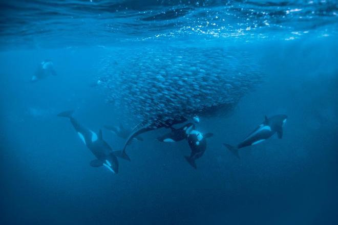 Trò chơi vương quyền trên biển (P2): Cơn ác mộng của 100 con cá mập trắng khổng lồ - Ảnh 2.