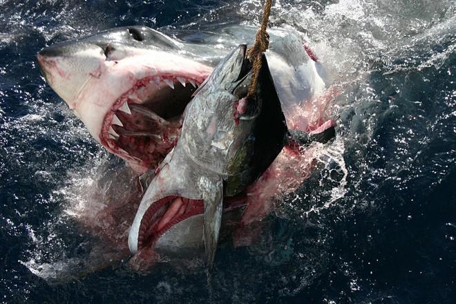 Trò chơi vương quyền trên biển (P2): Cơn ác mộng của 100 con cá mập trắng khổng lồ - Ảnh 5.
