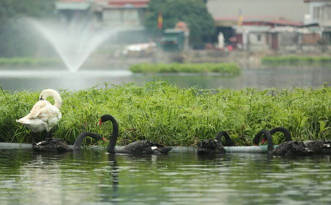 12 con thiên nga được chuyển về hồ Thiền Quang: Cứ bơi vào gần bờ sẽ xua ra vì sợ bị trộm
