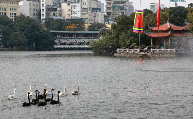 GS Lê Văn Lan: Thả thiên nga ở Hồ Gươm là rất thuận, hợp lí