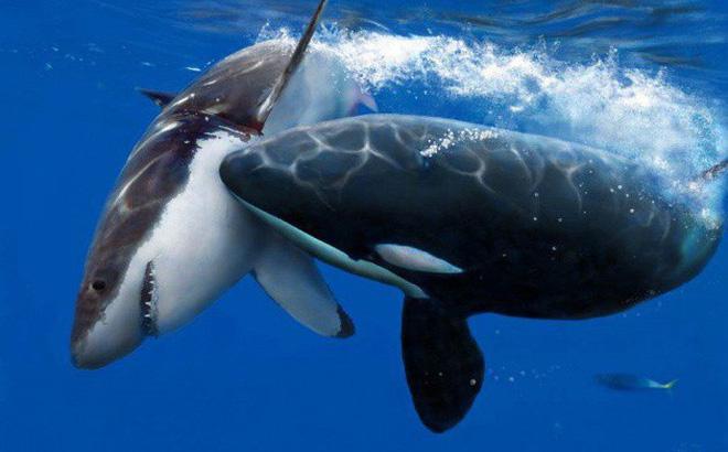 """""""Trò chơi vương quyền"""" trên biển (P2): Cơn ác mộng của 100 con cá mập trắng khổng lồ"""