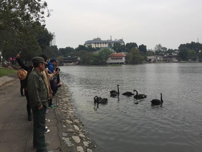 Đóng cọc, quây lưới để chống trộm thiên nga ở giữa hồ Thiền Quang - Ảnh 2.
